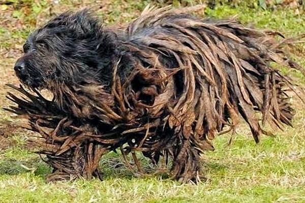 Rasta Dog
