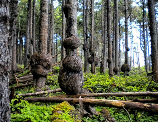 Burl Forest 1049 ©Bruce Conkle